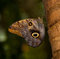 Stock Image : Tawny Owl Butterfly