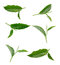 Stock Image : Tea leaf isolated on white background