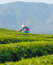 Stock Image : Tea plantation