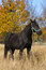 Stock Image : Tennessee Walker Saddlebred mix  horse in a field