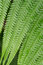 Stock Image : Texture of fern