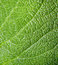 Stock Image : Texture of a green leaf