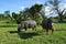 Stock Image : Thai buffalo is grazing in a field