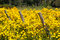 Stock Image : Three Fence Posts in Field of Yellow wildflowers