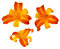 Stock Image : Three Frans Hals bicolored daylillies isolated on