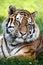 Stock Image : Tiger Portrait