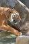 Stock Image : Tiger