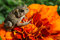 Stock Image : Toad on Marigold Flower