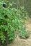 Stock Image : Tomato bush organic garden