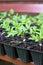 Stock Image : Tomato plants