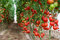 Stock Image : Tomatoes in a greenhouse