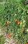 Stock Image : Tomatoes plants