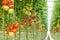 Stock Image : Tomatoes