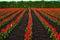Stock Image : Tomita farm in June