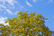 Stock Image : The top of the horse chestnut tree against the sky