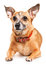Stock Image : Toy terrier