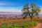 Stock Image : Tree in french vineyard