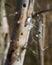 Stock Image : Tree Swallow
