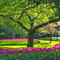 Stock Image : Tree and tulip flowers garden or field in spring. Netherlands