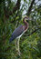 Stock Image : Tricolored Heron