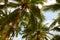 Stock Image : Tropical coconut palms on sunny blue sky