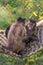 Stock Image : Tufted Capuchin (Cebus apella)