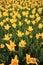 Stock Image : Tulip