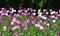 Stock Image : Tulips