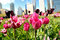 Stock Image : Tulips growing in the Big City