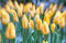 Stock Image : Tulips in selective focus