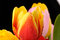 Stock Image : Tulips in the studio close-up