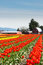 Stock Image : Tulips Tulip Farm with Barn