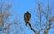 Stock Image : Turkey Vulture