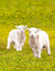 Stock Image : Twin baby lambs in flower meadow