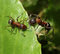 Stock Image : Two ants meet on green leaf