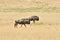 Stock Image : Two blue Wildebeest walking