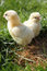 Stock Image : Two chicks close up portrait