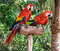 Stock Image : Two Colorfuls Macaws