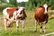 Stock Image : Two cows graze on the farm look right