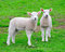 Stock Image : Two curious young lambs