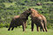 Stock Image : Two Elephants fighting, Addo, South Afric