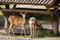 Stock Image : Two fallow deer and feeder