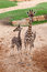 Stock Image : Two giraffes