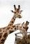 Stock Image : Two giraffes living in safari park