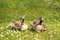 Stock Image : Two goslings in the summer sunshine