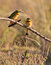 Stock Image : Two Little Bee-eaters in the sun