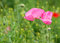 Stock Image : Two pink poppy flowers