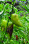 Stock Image : Unripe peppers