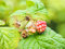 Stock Image : Unripe raspberries