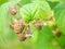 Stock Image : Unripe raspberry